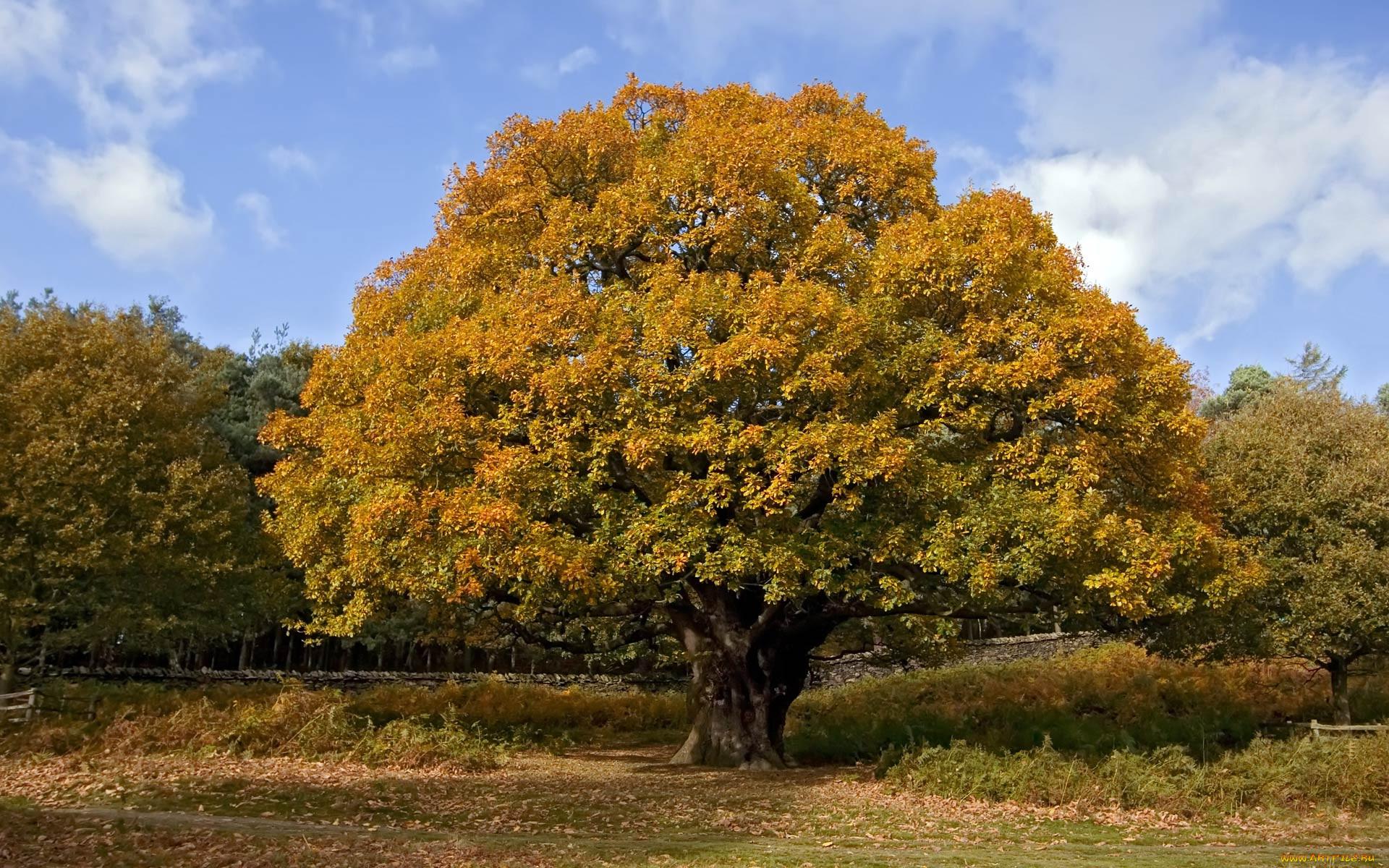 фото дерева типа дуб певец